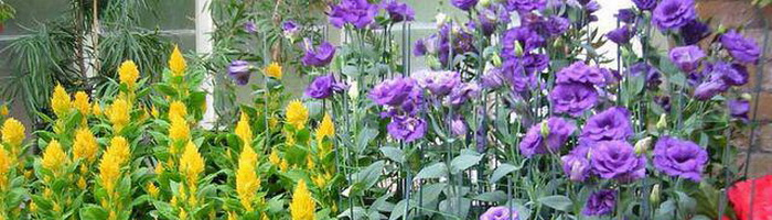 Лизиантус фото цветов википедия