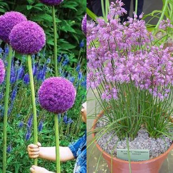 Allium (1)
