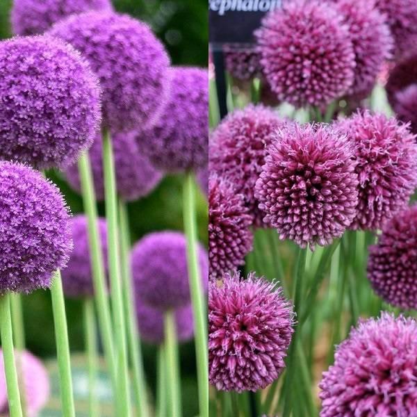 Allium (17)