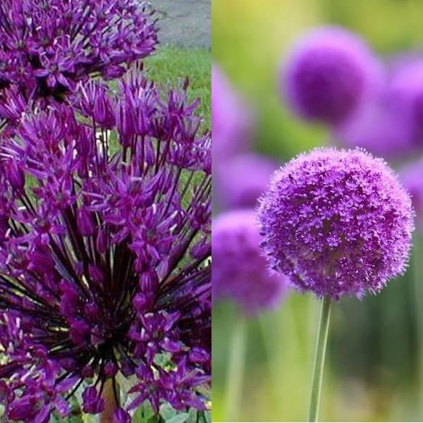 Allium (19)