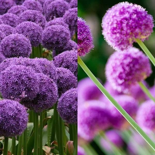 Allium (20)