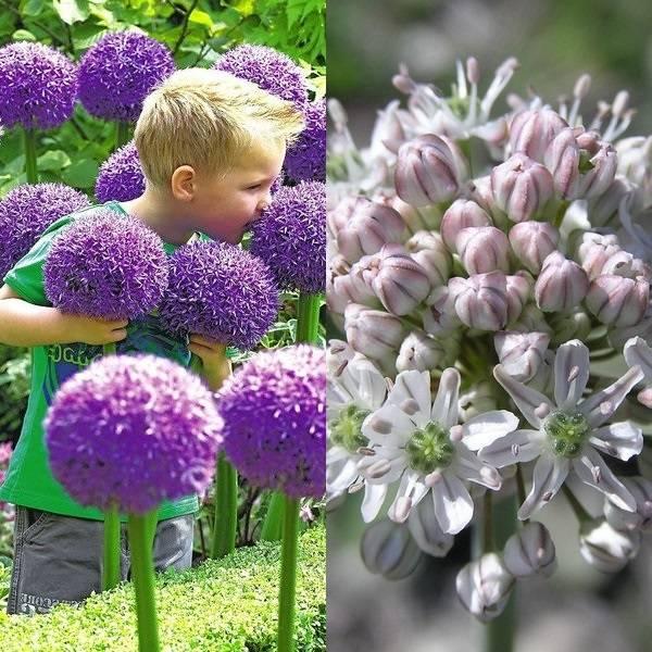 Allium (6)