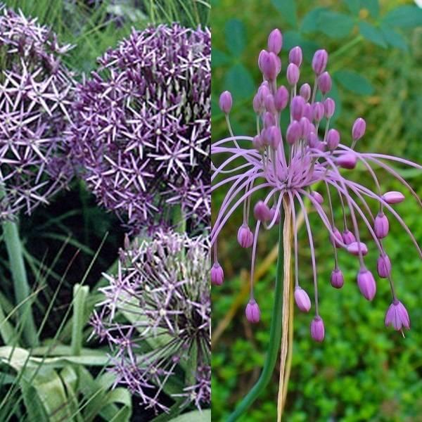 Allium (7)