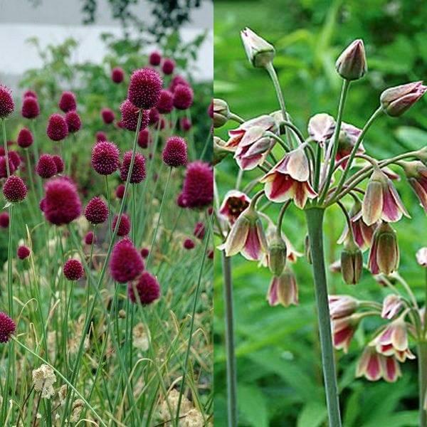 Allium (8)