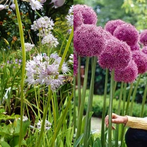 Allium (9)