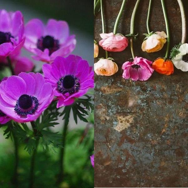 anemone (11)