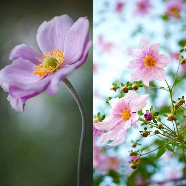 anemone (12)