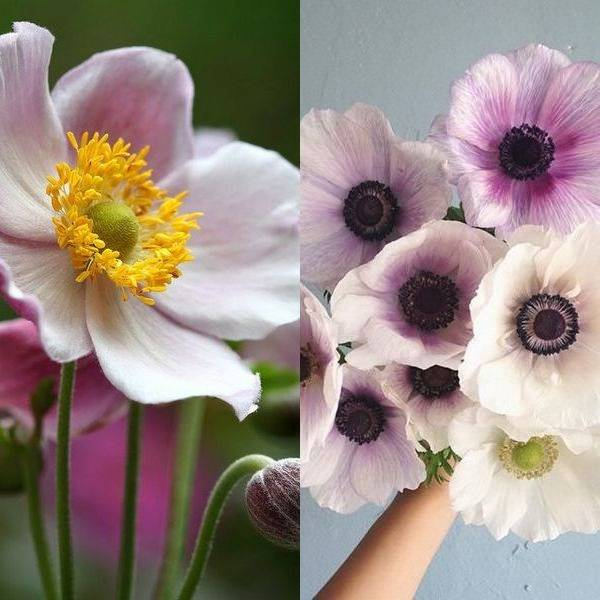 anemone (13)