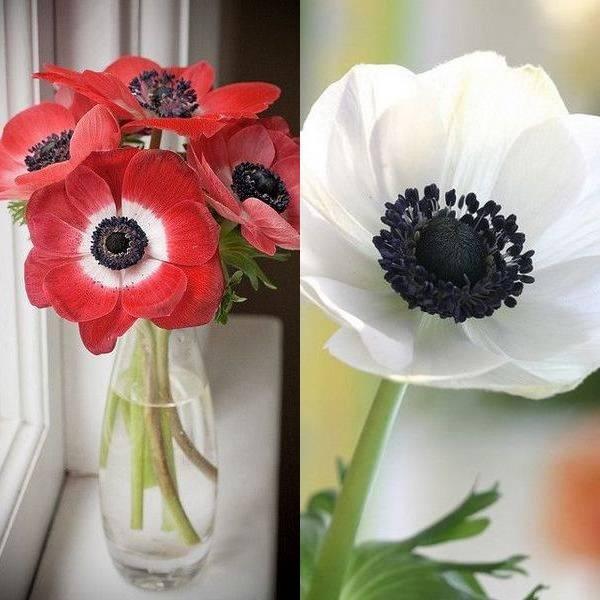 anemone (14)