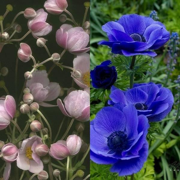 anemone (16)