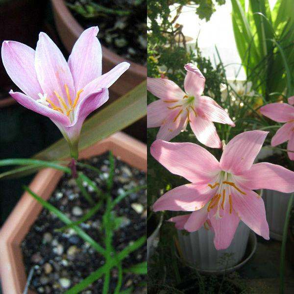 Зефирантес- все нюансы ухода за цветком в домашних условиях фото и видео