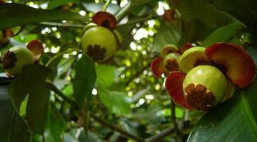 Где растет мангостин