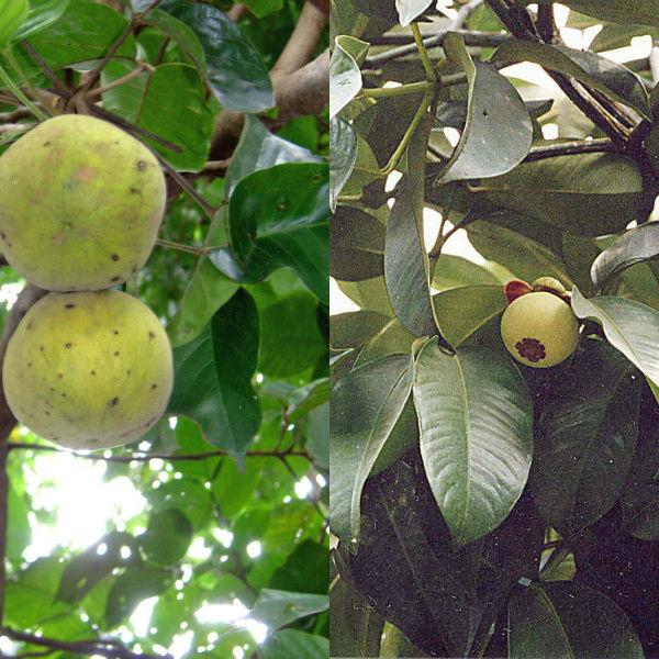 mangostin (3)