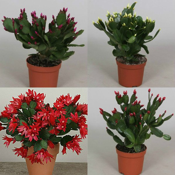 ripsalidopsis (11)