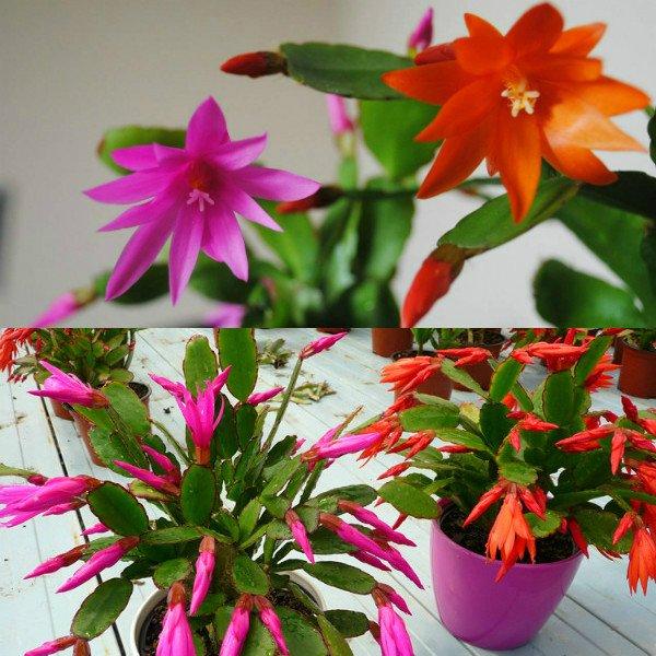 ripsalidopsis (12)