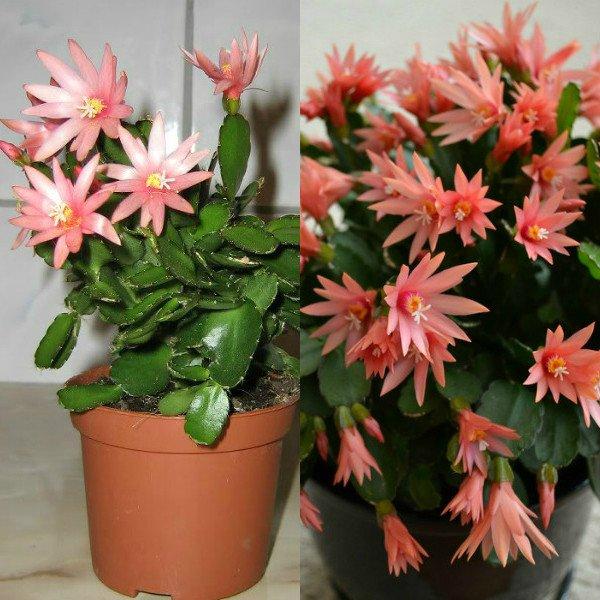 ripsalidopsis (23)