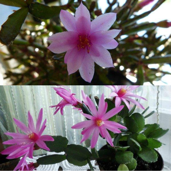 ripsalidopsis (6)