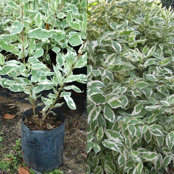 dyoren-belyj-sibirika-variegata (2)