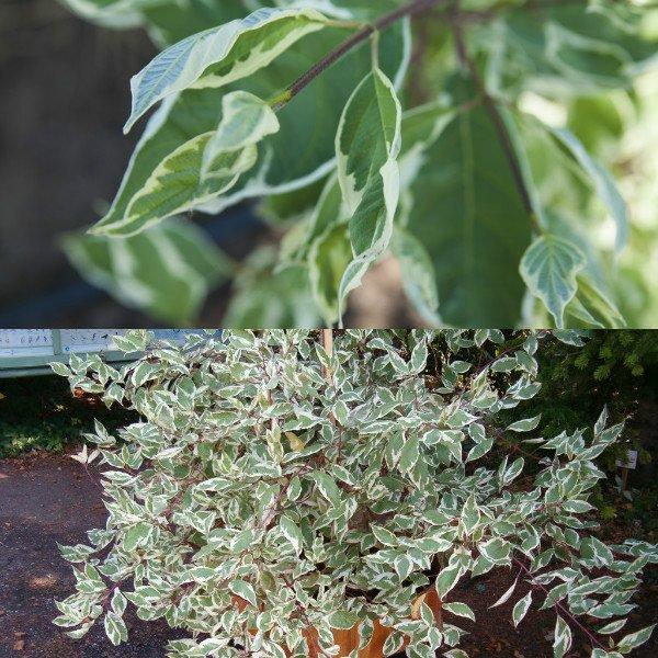 dyoren-belyj-sibirika-variegata (3)