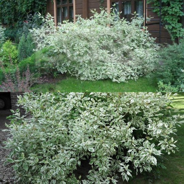 ehlegantissima-i-argenteo-marginata (1)