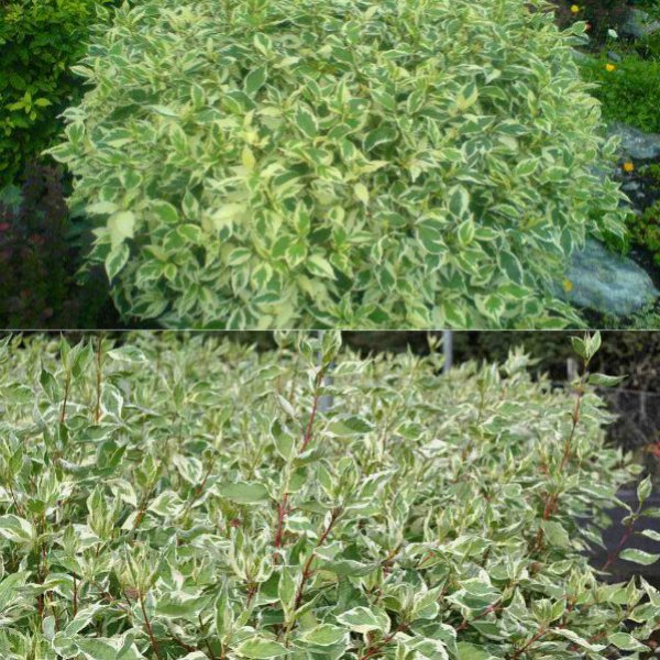 ehlegantissima-i-argenteo-marginata (2)