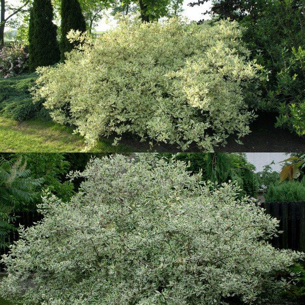 ehlegantissima-i-argenteo-marginata (3)