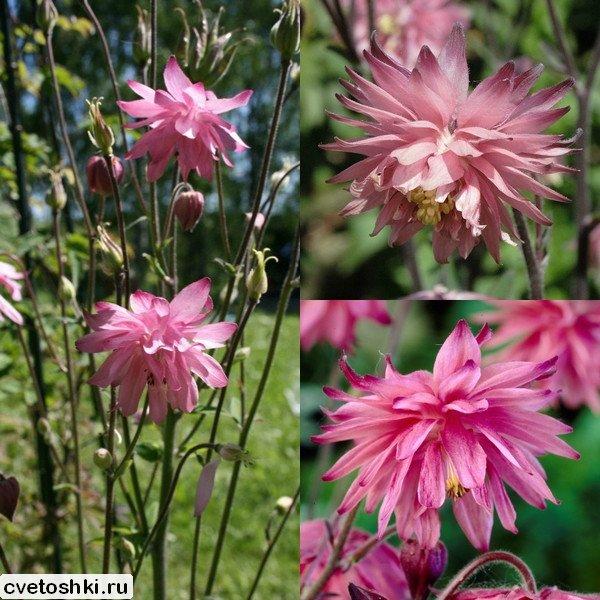 akvilegiya-barlou-pink