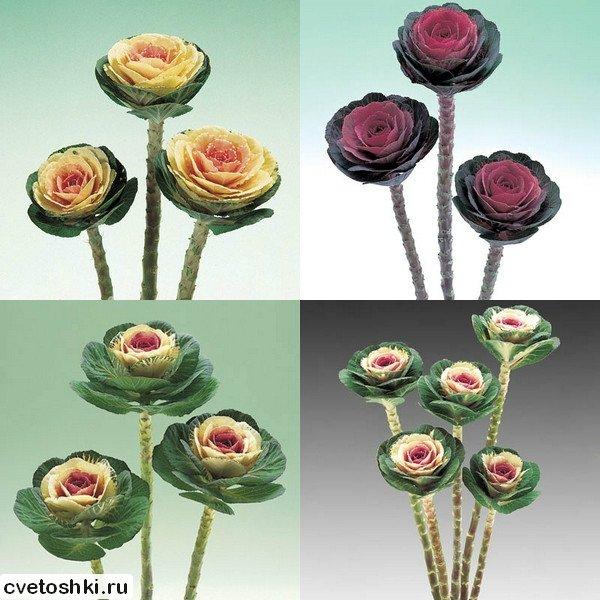dekorativnaya-kapusta (2)