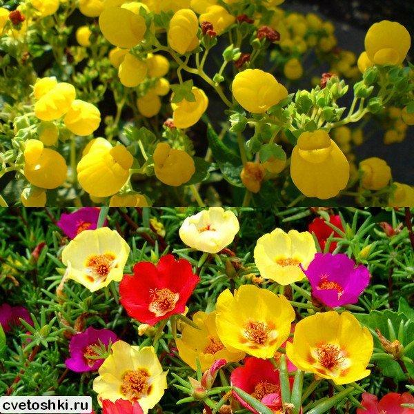 odnoletnie-cvety (1)
