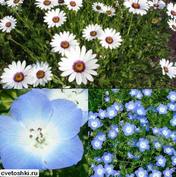 odnoletnie-cvety (2)