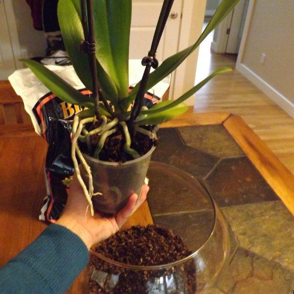 peresadka-orhidei-falenopsis (2)