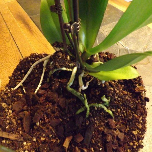 peresadka-orhidei-falenopsis (3)
