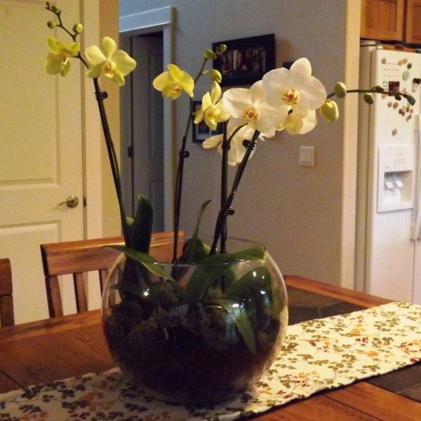 peresadka-orhidei-falenopsis (7)