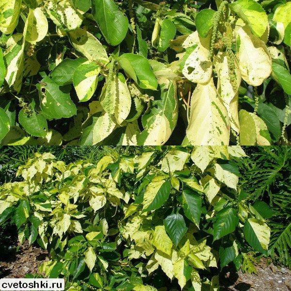 Acalypha variegata (3)