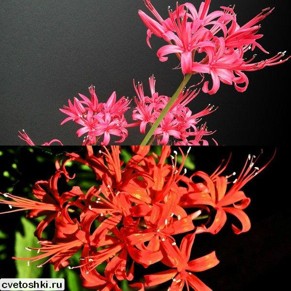 Amaryllis sarniensis (1)