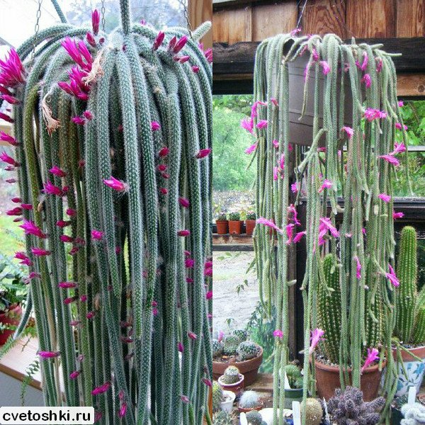 Aporocactus flagelliformis (3)