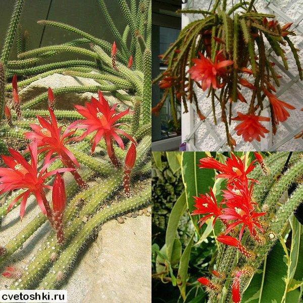 Aporocactus martianus