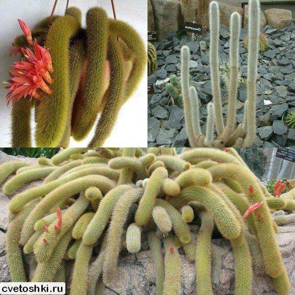Cleistocactus (1)