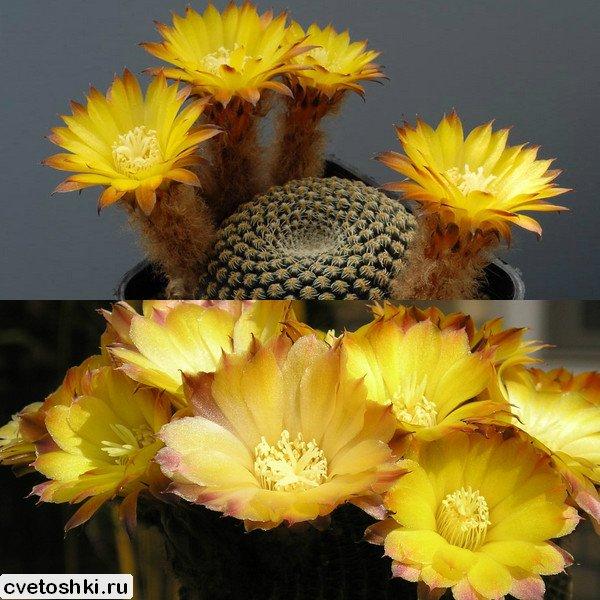 Lobivia famatimensis (1)