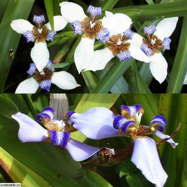 Neomarica gracilis (2)