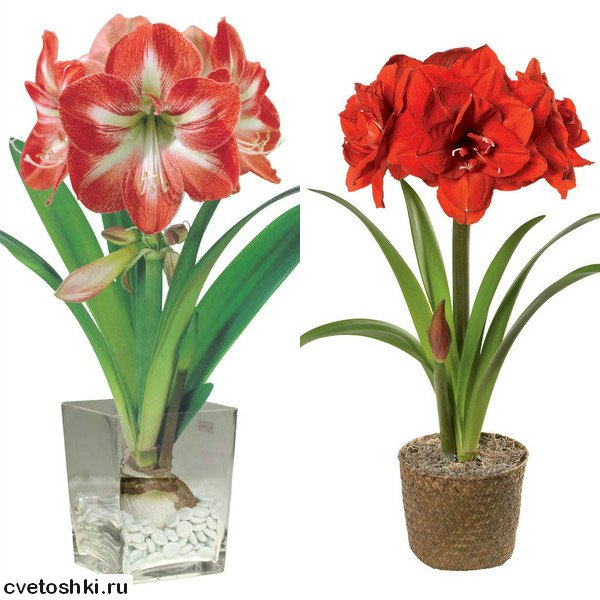 cvetok-amarillis (1)
