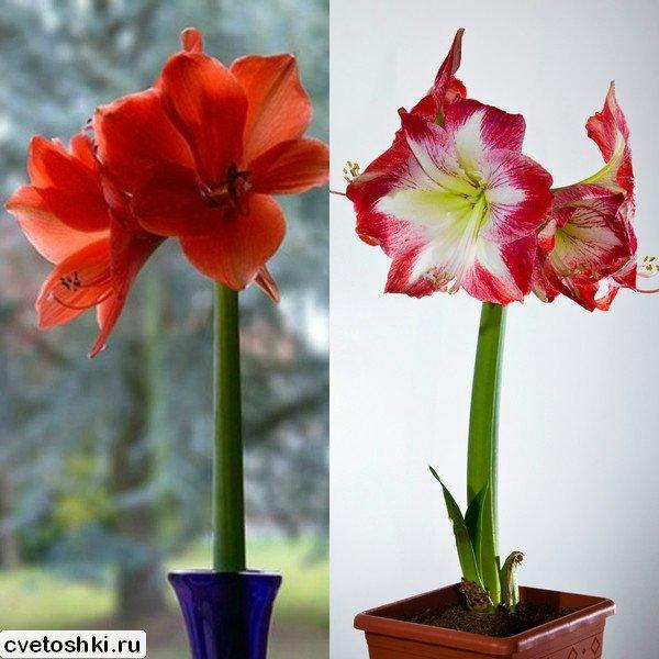 cvetok-amarillis (12)