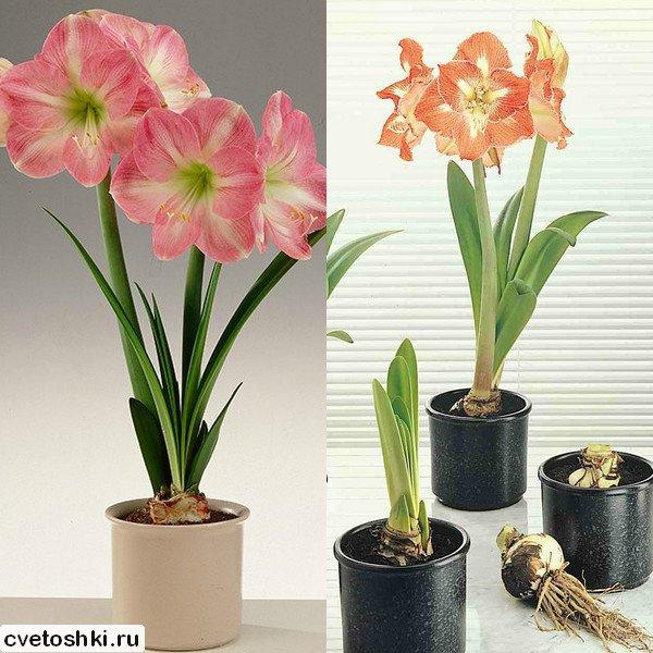 cvetok-amarillis (15)