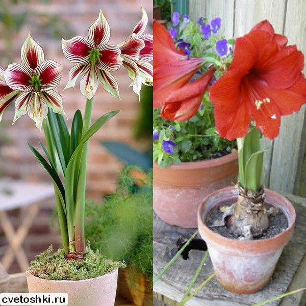 cvetok-amarillis (8)