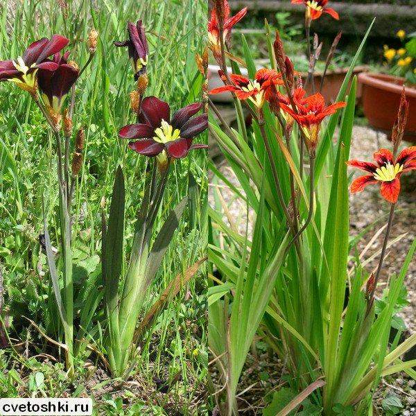 cvety-sparaksis (1)