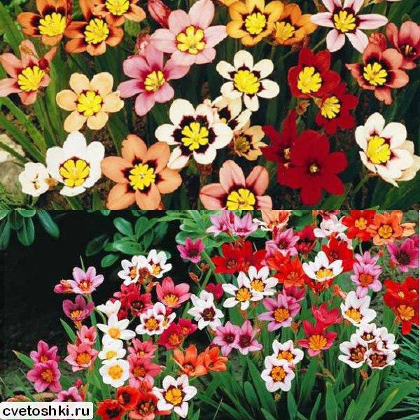 cvety-sparaksis (10)