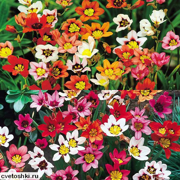 cvety-sparaksis (12)