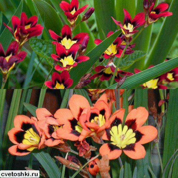 cvety-sparaksis (2)
