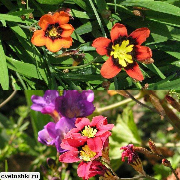 cvety-sparaksis (3)