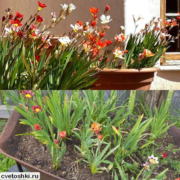 cvety-sparaksis (4)